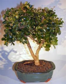 Flowering Campeche Bonsai Tree - Large<br><i>(haematoxylum campechianum)</i>