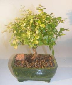 Flowering Sweet Plum Bonsai Tree<br><i>(sageretia theezans)</i>