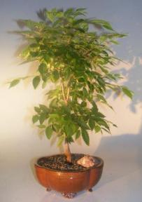 Japanese Zelkova Bonsai Tree<br><i>(Zelkova serrata)</i>