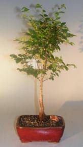 Elsmo Lacebark Elm<br><i>(ulmus parvifolia 'Elsmo')</i>