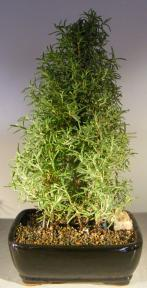 Flowering Rosemary Bonsai tree<br><i>(rosmarinus officinalis) </i>