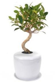 Ficus Retusa Curved Trunk Bonsai Tree &<br> Porcelain Ceramic Cremation Urn<br>with Matching Humidity / Drip Tray
