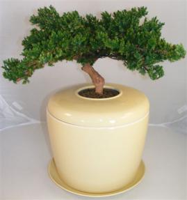 Monterey Juniper Preserved Bonsai Tree <i>(Not a Living Tree)</i><br> and Porcelain Ceramic Cremation Urn<br>with Matching Humidity / Drip Tray