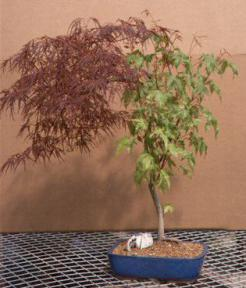 Japanese Red Laceleaf Maple Bonsai Tree 25 X 22 X 28acer