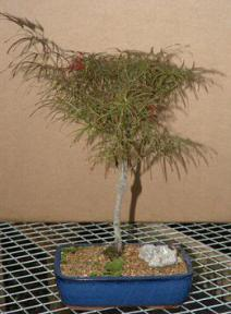 Japanese Red Maple Bonsai Tree 17x14x19 Acer Palmatum Dissectum Red Filigree Lace