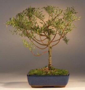 Weeping Willow Bonsai Tree Babylonica Crispa