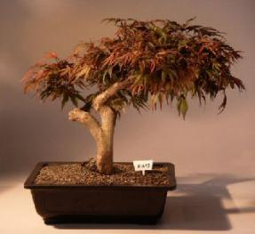 Japanese Maple Bonsai Treeacer Palmatum Seiryu