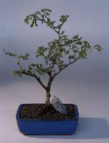 Texas Ebony Bonsai Tree Pithecolobium Flexicaule