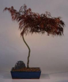 Japanese Red Laceleaf Maple Bonsai Tree<br><i>(acer palmatum dissectum)</i>
