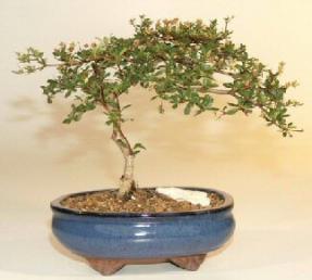 Black Olive Bonsai Tree - Large<br><i> (budica spinosa)</i>