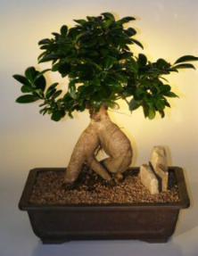 Ginseng Ficus Bonsai Tree - Extra Large<br><i>(ficus retusa)</i>