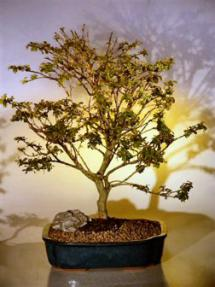 Flowering Crape Myrtle Bonsai Tree