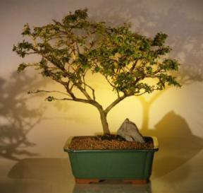 Crape Myrtle Bonsai Tree