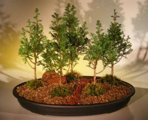 Eastern White Cedar Bonsai Treefive 5 Tree Forest Group Chamecyparis Thoides Andelensis Little Jaime