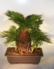 sago palm bonsai tree with many babies cycas revoluta. Black Bedroom Furniture Sets. Home Design Ideas