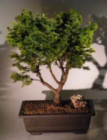 Canadian Hemlock Bonsai Tree Tsuga Canadensis Jervis