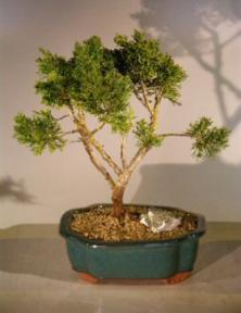Shimpaku Bonsai Tree - Large <br><i>(shimpaku itoigawa)</i>