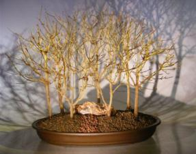 Trident Maple Bonsai Tree<br>Seven Tree Forest Group<br><i>(acer buergerianum)</i>