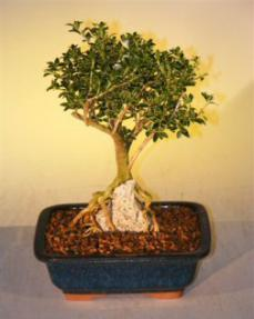 flowering mount fuji serissa root over rock style serissa foetida rh bonsaiboy com Kingsville Boxwood Bonsai wiring ficus bonsai