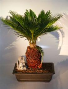 Sago Palm Bonsai Tree With Baby Cycas Revoluta