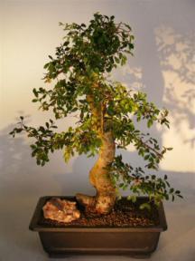 Chinese Elm Bonsai Tree<br><i>(ulmus parvifolia)</i>