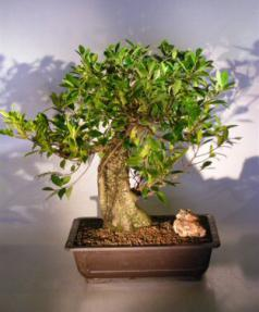 Ficus Retusa Bonsai Tree - Banyan Style<br><i>(ficus retusa)</i>
