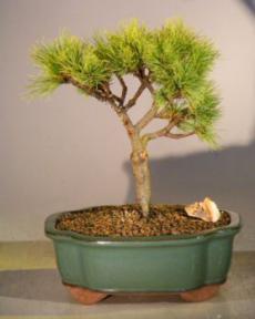 White Pine Bonsai Tree<br><i>(pinus strobus 'horsford')</i>