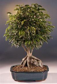 Root Over Rock Ficus Bonsai Tree Ficus Philippinensis