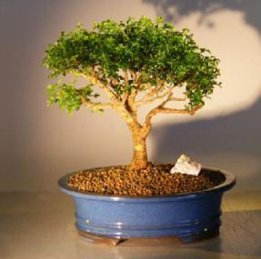 Japanese Kingsville Boxwood Bonsai Tree Buxus Microphylla