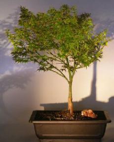 Dwarf Japanese Maple Bonsai Treeacer Palmatum Capercis Dwarf