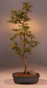 Japanese Maple Bonsai Treeacer Palmatum Winter Flame