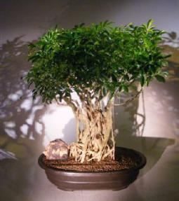 Hawaiian Umbrella Bonsai <br>Banyan Style<br><i>(arboricola schefflera)</i>