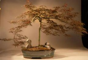 Japanese Red Maple Bonsai Treeacer Palmatum Red Feather