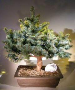 Colorado Blue Spruce Bonsai Tree Picea Pungens Globosa