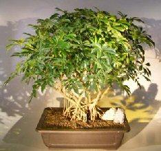 Hawaiian Umbrella Bonsai Tree<br><i></i>Banyan Style<br><i>(arboricola schfflera)</i>
