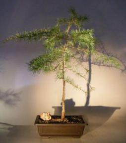 Deodar Cedar Bonsa Tree<br><i>(cedrus deodara)</i>
