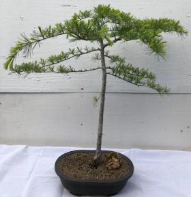 Deodar Cedar Bonsa Tree <br><i>(cedrus deodara)</i>