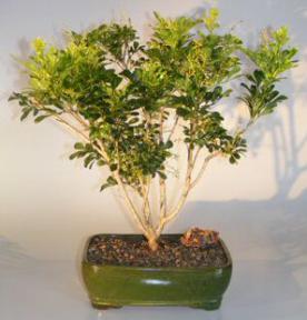 Flowering Chinese Perfume Bonsai Tree<br><i>(aglaia orodata)</i>