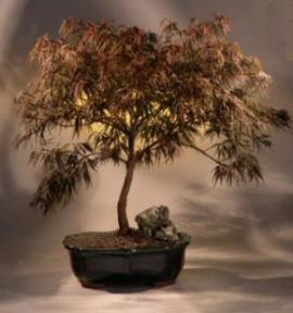 Japanes Red Maple Bonsai Tree Red Dragonacer Palmatum Dissectum