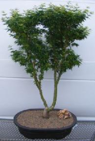 Shishigashira Japanese Maple Bonsai Tree Acer Palmatum Shishigashira