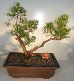 San Jose Juniper<br><i>(juniperus chinensin 'san jose')</i>