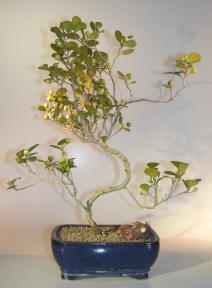 Mistletoe Fig Bonsai Tree<br>Curved Trunk Style<br><i>(ficus diversifolia)</i>