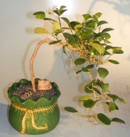 Mistletoe Fig Bonsai Tree<br>Cascade Style<br><i>(ficus diversifolia)</i>
