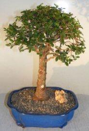 Chinese Elm Bonsai Tree<br>Upright Ball Style<br><i>(ulmus parvifolia)</i>
