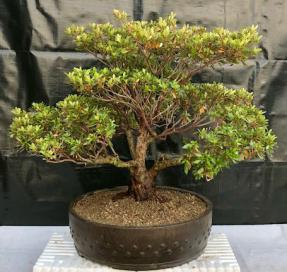 Flowering Chinzan Azalea Bonsai Tree<br><i>(azalea satsuki 'chinzan')</i>