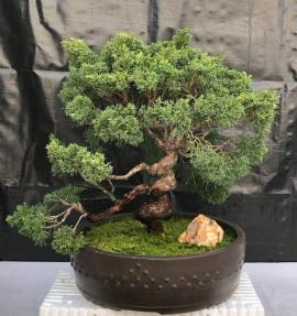 Shimpaku Juniper Bonsai Tree<br>Trained With Coiled Trunk & Coiled Branches<br><i>(juniper chinensis 'shimpaku')</i>