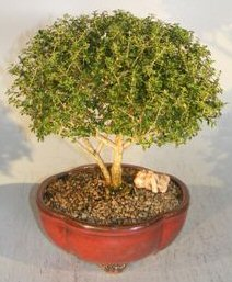 Chinese Flowering White Serissa - Extra Large <br>Tree of a Thousand Stars<br><i> (serissa japonica)</i>