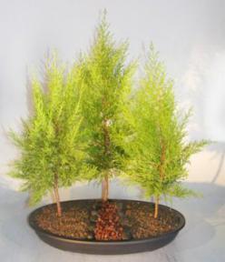 Lemon Cypress Bonsai Tree<br>Three Tree Forest Group<br><i>(cupressus macrocarpa)</i>