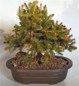 Norway Spruce Bonsai Treepicea Abies Pusch