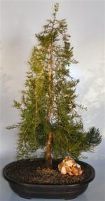 Weeping Eastern Red Cedar Bonsai Tree Juniperus Virginiana Pendula